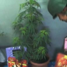 marijuana plant as christmas tree