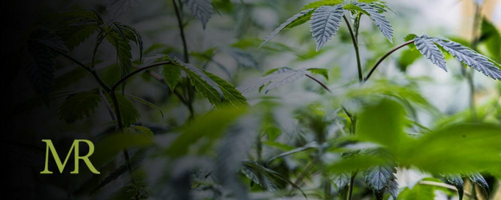 3 Steps To Becoming A Licensed Cannabis Manufacturer