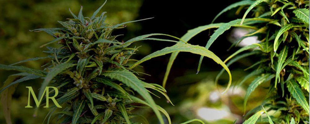 Cannabis Farmers Compete for Limited Farmland